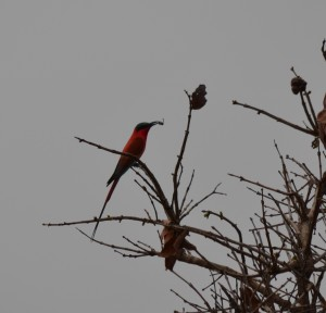 Northern Carmine Bee Eater
